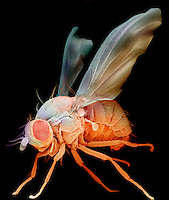 Fruit Fly ,Drosophila melanogaster, an important laboratory organism in genetics. SEM X75