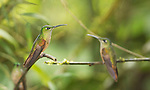 Female fawn-breasted brilliant hummingbirds, Heliodoxa rubinoides. Refugio Paz de las Aves, Ecuador