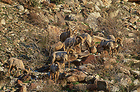 678590006 a small herd of wild penninsular bighorn sheep rams ovis canadensis cremnobates a federally listed endangered species forages on a rocky arid hillside in anza borrego desert state park in southern california
