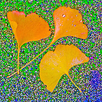 Golden ginkgo leaves in autumn, Peek Hill, Jackson, Calif.