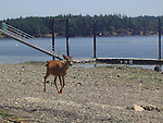 deer strolling on the gravel beach on a beautiful summer day on Henry Island in the San Juan Islands with dock in the background