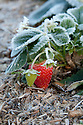 Autumn hoar frost on end-of-season strawberries, late October.