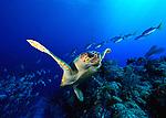Loggerhead Turtle (Caretta caretta) - Protected endangered specie.ACNWR, Bahamas