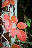 Poison Ivy Rhus radicans aka Toxicodendron in fall foliage autumn color climbing vine poisonous causes skin rash tripartate foliage
