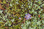 Small lupine (Lupinis sp.) and moss on forest floor, Toiyabe National Forest, California