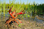A Crayfish (Procambarus clarcki) in threatening posture.
