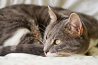 Bertie, a blue tabby and white shorthair cat, relaxing on a bed all curled up with his eyes open looking out a window.