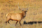 Bull Elk at Sunrise, Madison River Meadow, Yellowstone National Park, Wyoming
