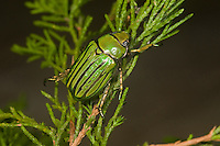 Glorious Scarab Beetle (Chrysina gloriosa), Texas, USA