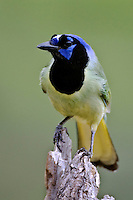 South Texas Green Jay