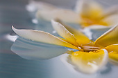 Plumeria floating in water