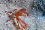 Orangutan crab, Achaeus japonicus