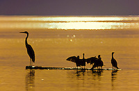 White heron birds sitting on a piece of driftwood in the calm water at sunset in Baja California