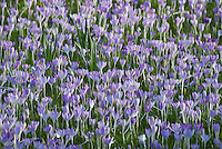 A blanket of pale purple crocuses coming up through the grass at the end of January in Oxford, UK