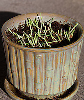 """Our pot of cat grass was stuffed full of 4""""-high blades of tack oats (Avena sativa) when we gave it to our two cats.  Within 24 hours it looked like this: the grass had been mowed down to almost nothing.  Do we have cats or goats?"""