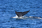 blue whale tail flukes, diving