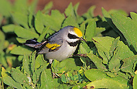 Golden-winged Warbler, Vermivora chrysoptera,male, South Padre Island, Texas, USA