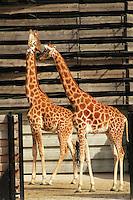 Girafes dans leur plateau exterieur définitif, zone Sahel-Soudan, new Parc Zoologique de Paris, or Zoo de Vincennes, (Zoological Gardens of Paris, also known as Vincennes Zoo), Museum National d'Histoire Naturelle (National Museum of Natural History), 12th arrondissement, Paris, France. Picture by Manuel Cohen