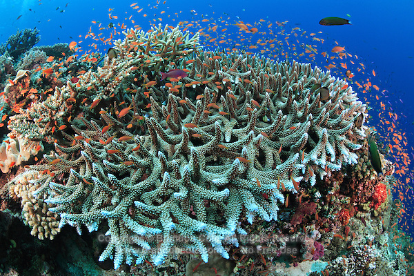 qe0062-D. a vibrant, busy coral reef. branching hard coral in foreground (Acropora robusta) with and a cloud of Scalefin anthias (Pseudanthias squammipinnis) swarming about. Fiji, tropical Pacific Ocean..Photo Copyright © Brandon Cole. All rights reserved worldwide.  www.brandoncole.com..This photo is NOT free. It is NOT in the public domain. This photo is a Copyrighted Work, registered with the US Copyright Office. .Rights to reproduction of photograph granted only upon payment in full of agreed upon licensing fee. Any use of this photo prior to such payment is an infringement of copyright and punishable by fines up to  $150,000 USD...Brandon Cole.MARINE PHOTOGRAPHY.http://www.brandoncole.com.email: brandoncole@msn.com.4917 N. Boeing Rd..Spokane Valley, WA  99206  USA.tel: 509-535-3489