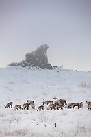 Bull caribou in foggy winter weather on Finger mountain, with Finger rock in the background, Alaska.
