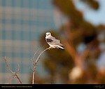 White-Tailed Kite, Portrait of Male, Sepulveda Wildlife Refuge, Southern California