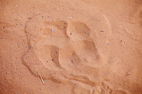 Pug mark pawprint of Bengal tiger, Panthera tigris tigris, in Ranthambore National Park, Rajasthan, India