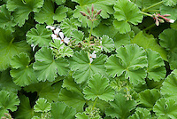 Pelargonium 'Fragrans Group' scented geranium in bloom, nutmeg scented geranium, annual plant in flower