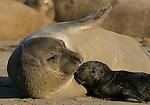 Northern elephant seal female and pup