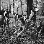 The Blencathra foxhounds. Near Braithwaite, Cumbria England...Hunting with Hounds / Mansion Editions (isbn 0-9542233-1-4) copyright Homer Sykes. +44 (0) 20-8542-7083. &lt; www.mansioneditions.com &gt;