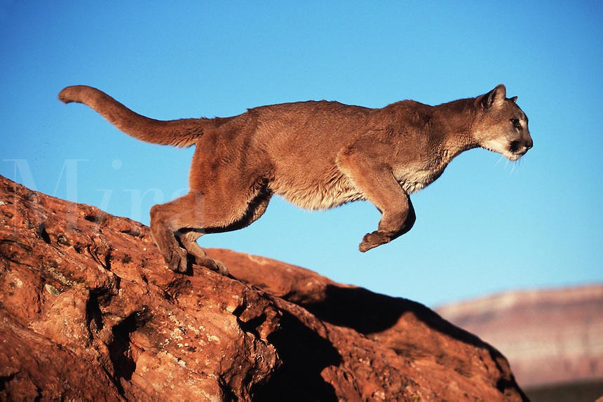A mountain lion in action as it leaps between rocks.