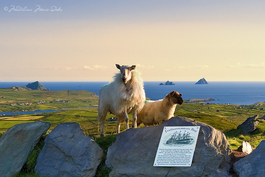 View on the Great Skelligs from Valentia Island with sheep in the foreground, Iveragh Peninsula, Ring of Kerry, southwest ireland / vl096 I love the Skelligs,