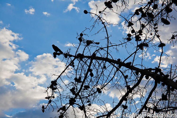 Bare limbs, except for a few cones and a crow.  An early morning encounter at the San Leandro Marina.
