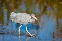 Little Blue Heron walking through water hunting for food