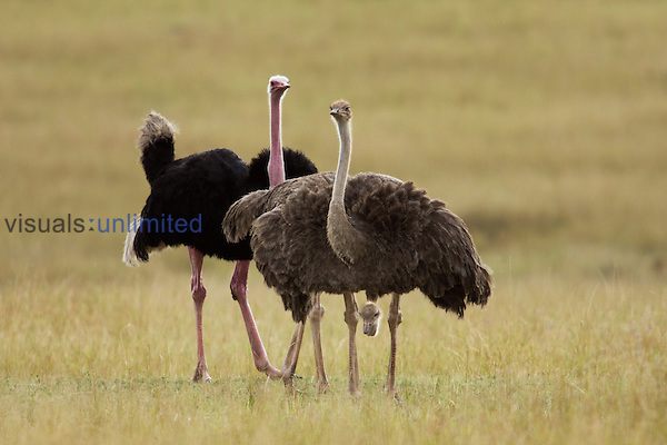 Maasai Ostrich male and female courting (Struthio camelus massaicus), Maasai Mara National Reserve, Kenya.