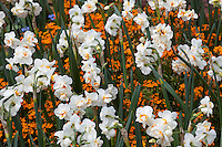 Double Daffodil (Narcissus ) 'Sir Winston Churchill' with orange annual wallflower companion planting