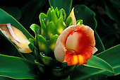 A close-up of a Costus ginger bract with flowers, one fresh and one wilting, another just a bud.  Smooth green foliage is around the flowering bract