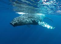 Humpback whale swims off Maui, Hawaii.