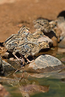 574470035 wild gambel's quail chicks callipepla gambelli drink from a pond in green valley arizona united states