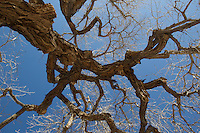 branches of a Cottonwood Tree in New Mexico
