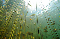 Underwater Scene (with juvenile Bluegills)<br />