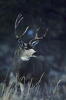 Mule Deer, Black-tailed Deer (Odocoileus hemionus), buck,  Rocky Mountain National Park, Colorado, USA