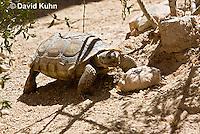 0609-1032  Desert Tortoise (Mojave Desert), Gopherus agassizii  © David Kuhn/Dwight Kuhn Photography