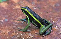 Three-striped Poison Dart Frog (Epipedobates trivittatus), adult, Tambopata Candamo Reserve, Peru