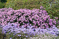 Aster x frikartii 'Wunder von Stafa' (front) + Aster novae-angliae 'Barr's Violet' in fall