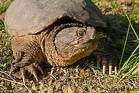 0611-0909  Snapping Turtle, Chelydra serpentina  © David Kuhn/Dwight Kuhn Photography