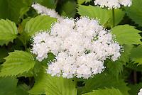 Viburnum dentatum in spring bloom