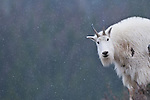 a lone white mountain goat looking at camera in  snowing, cold winter scene with dark backdrop