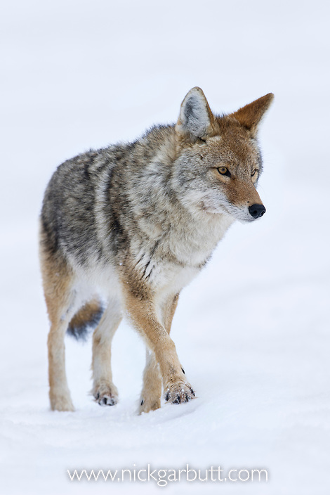 Adult Coyote (Canis latrans) walking in snow. Lamar River Valley, Yellowstone National Park, Wyoming, USA.