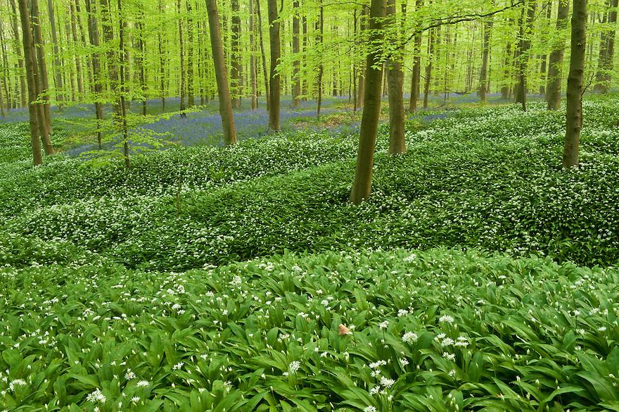 Wild garlic Allium ursinum carpet in Hallerbos forest, Belgium