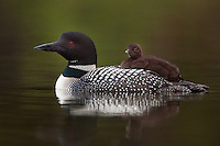 Common Loon (gavia immer) with chick riding on its back swimming on a lake at Lac Le Jeune, British Columbia, Canada